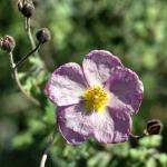 Cretan rock rose